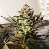 Royal Highness CBD - Royal Queen Seeds