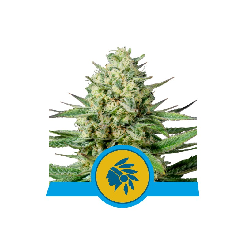 Fast Eddy CBD Auto - Royal Queen Seeds