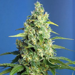 Honey Peach CBD Auto - Sweet Seeds
