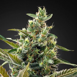 Super Lemon Haze Auto CBD - Green House Seeds