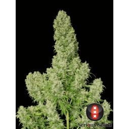 White Russian Régulières - Serious Seeds