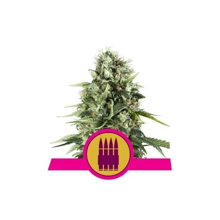 Royal AK - Royal Queen Seeds