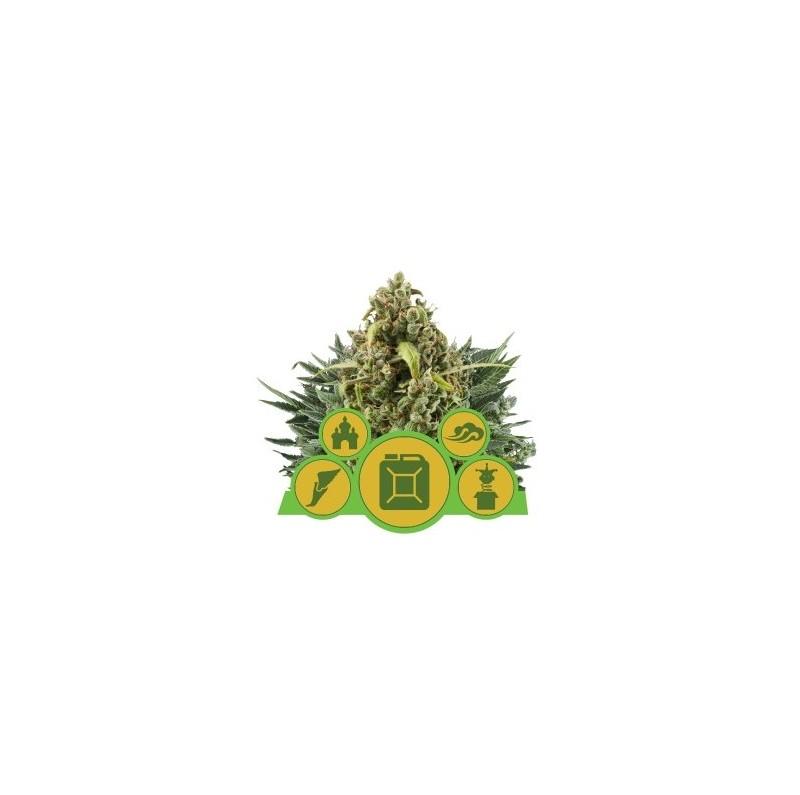 Autoflowering Mix - Royal Queen Seeds