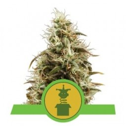 Royal Jack Automatic - Royal Queen Seeds