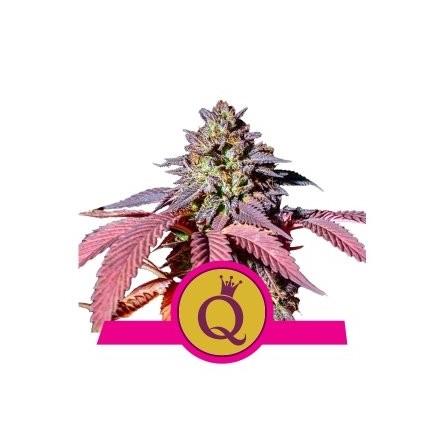 Purple Queen - Royal Queen Seeds