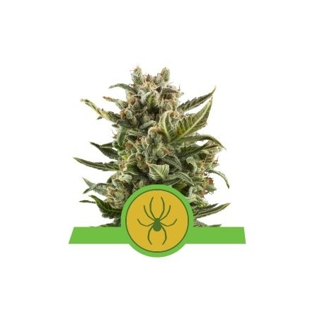 White Widow Automatic - Royal Queen Seeds