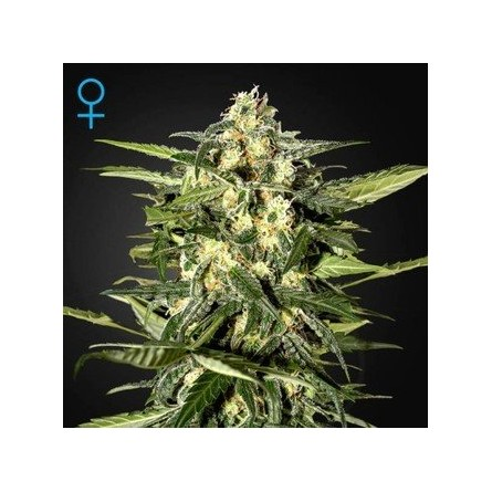 Jack Herer Auto - Green House Seeds