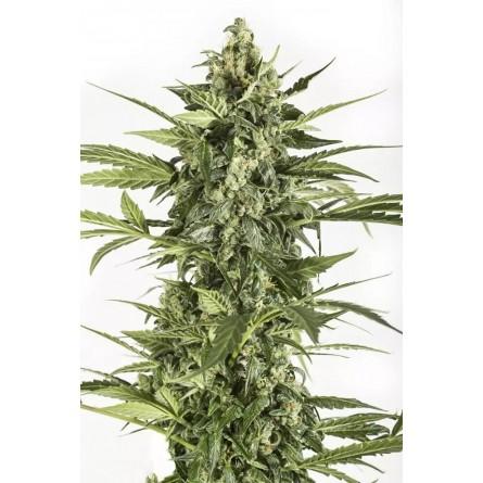 Blue Cheese Autoflowering - Dinafem