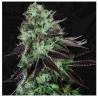 Darkstar Kush - TH Seeds