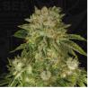 Mk-Ultra Kush - TH Seeds