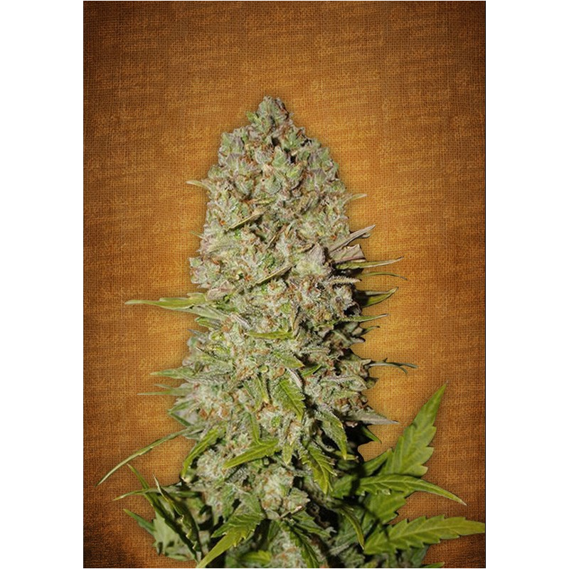 Pineapple Express Auto - FastBuds