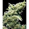 Jamaican Pearl - Sensi Seeds