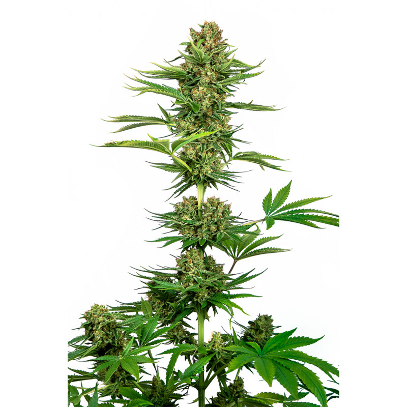 Vente de Graines de Super Skunk - Sensi Seeds