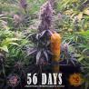 Vente de Graines de Pineapple Chunk - Barney's Farm