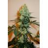 Graine féminisée Cannabis Master Kush - Dutch Passion