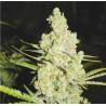 1024 - Medical Seeds