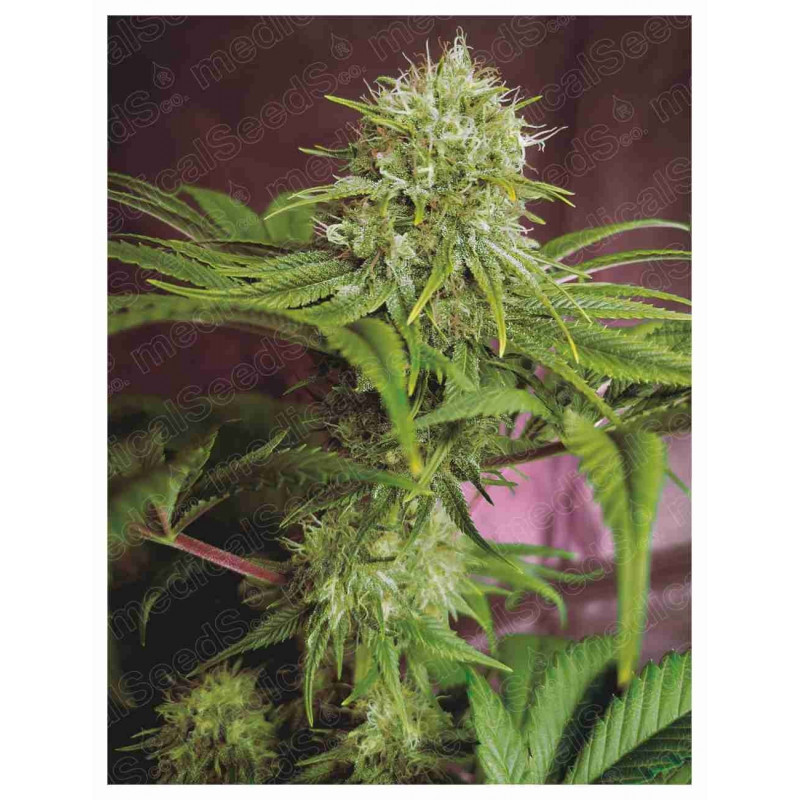 Elixir Vitae CBD - Medical Seeds