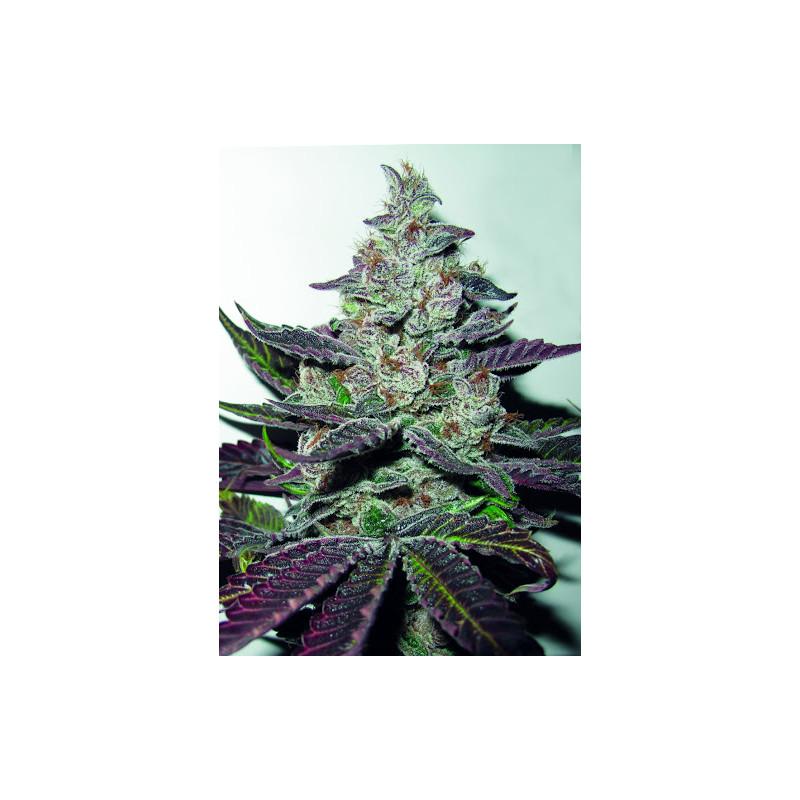 Mendocino Purple Kush  - Medical Seeds