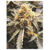 Recovery CBD - Medical Seeds