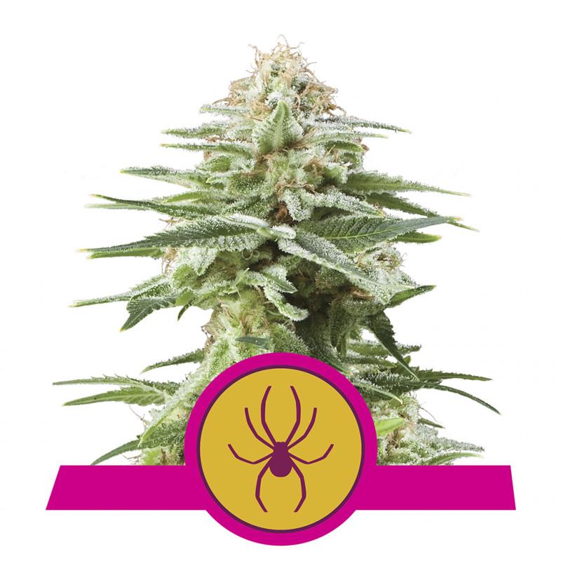 White Widow Medical Seeds Graine féminisée