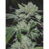 Sour Glue - Medical Seeds