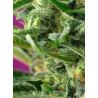 Vente de Graines de Green Poison Fast Version - Sweet Seeds