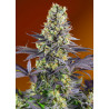 Vente de Graines de Big Devil XL Auto - Sweet Seeds