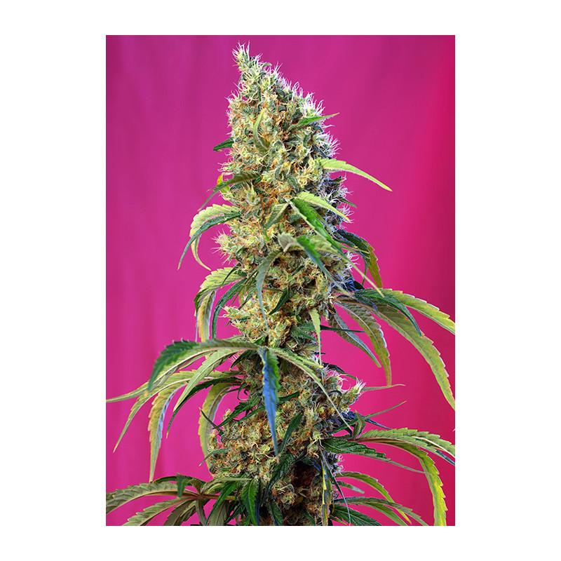 Achat Graine féminisée Black Jack CBD - Sweet Seeds