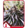 Cookies Purple Punch - Medical Seeds