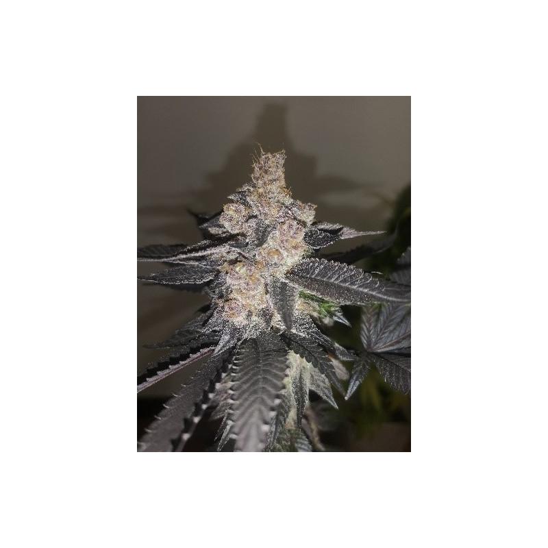 Gelato 242 - Medical Seeds