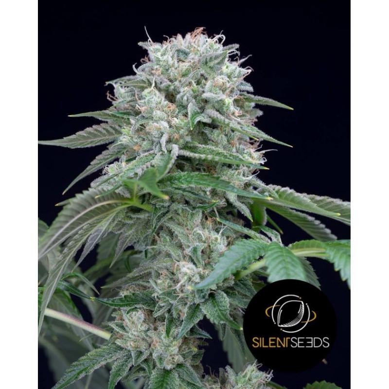 Starfire OG - Silent Seeds