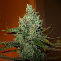 Super Lemon Haze - Green House Seed