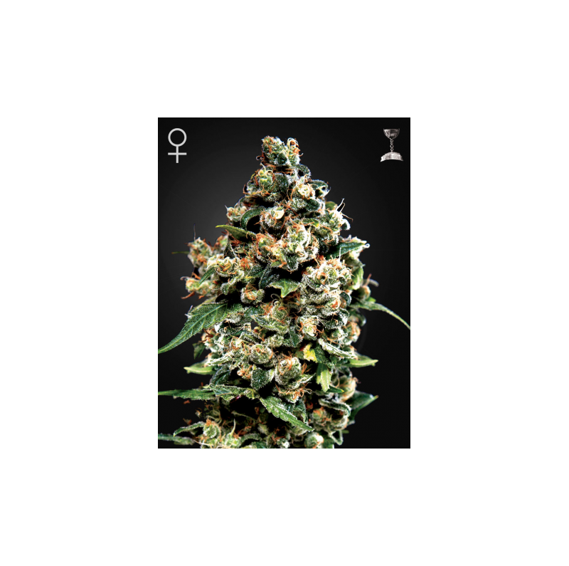 Jack Herer - Green House Seed