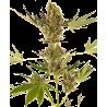 Alpine Delight CBD Auto - Sensi Seeds - Livraison Gratuite