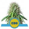 Royal CBG Auto - Royal Queen Seeds - Livraison Gratuite
