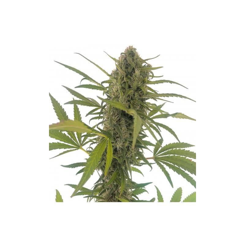 Vente de Graines de Gorilla Snow Ultra CBD - Elite Seeds