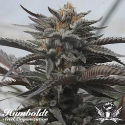 Black D.O.G - Humboldt