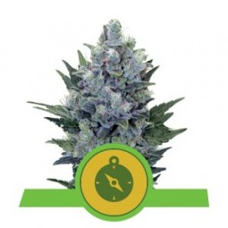Northern Light Auto - Royal Queen Seeds