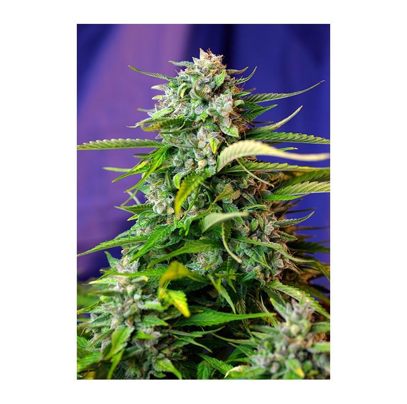 Jack 47 Auto - Sweet Seeds