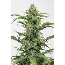 Graine de cannabis Dinamed CBD Auto - Dinafem