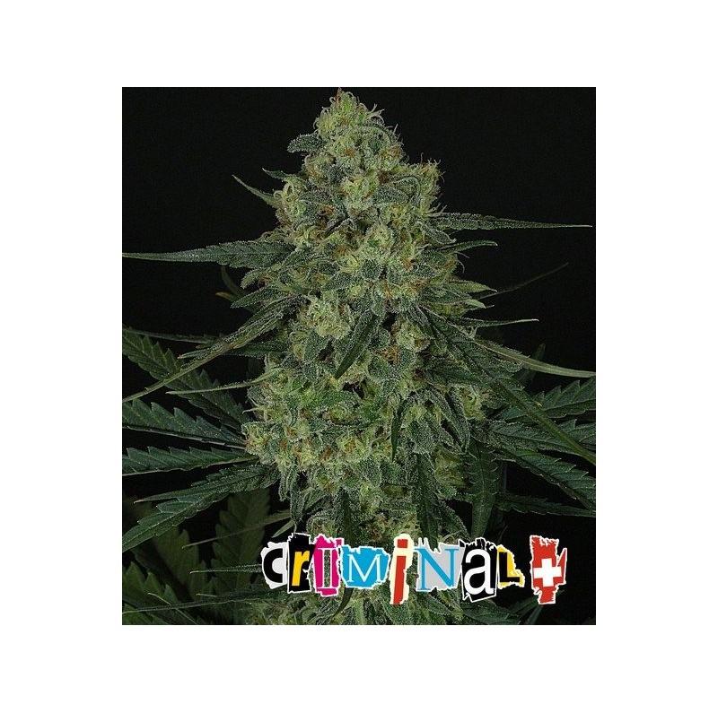 Criminal + - Ripper Seeds