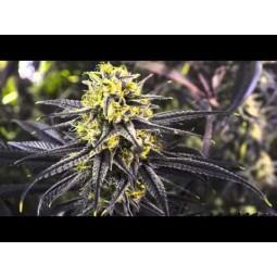 Zombie Kush - Ripper Seeds