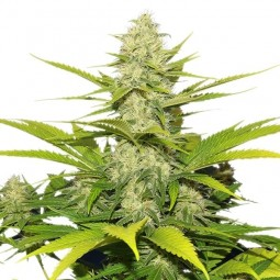 Skunk XL - Royal Queen Seeds
