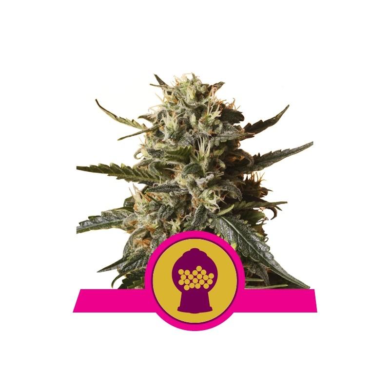 Bubblegum XL - Royal Queen Seeds
