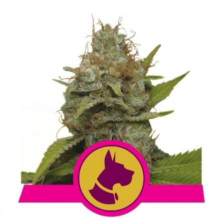 Kali Dog - Royal Queen Seeds