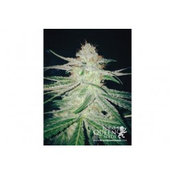 Honey Cream Fast Version - Royal Queen Seeds
