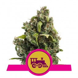 Candy Kush Express Fast Version - Royal Queen Seeds