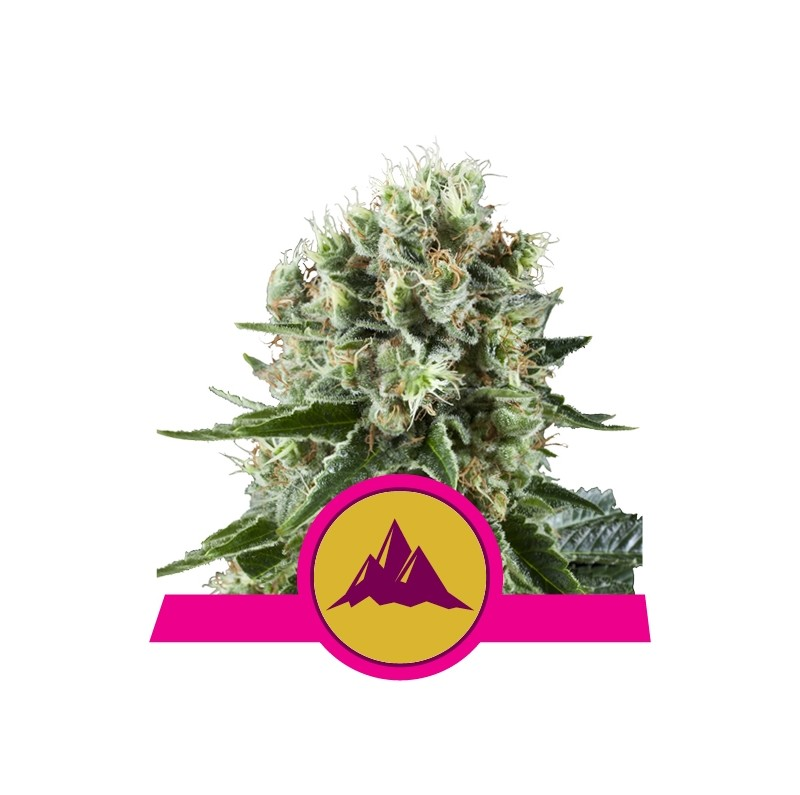 Critical Kush - Royal Queen Seeds