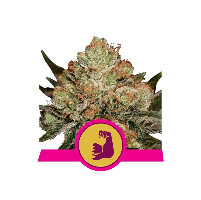 HulkBerry - Royal Quen Seeds