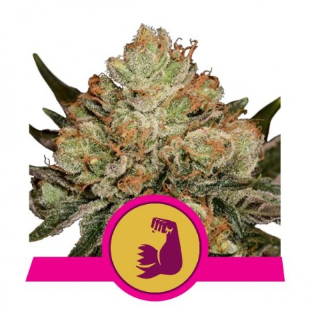 HulkBerry - Royal Queen Seeds